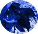Blue Oranda Publishing logo