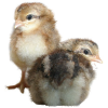 Poultrykeeper.com logo