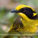 Friends Of The Helmeted Honeyeater Inc Logo