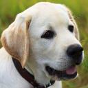 labradortraininghq.com logo icon